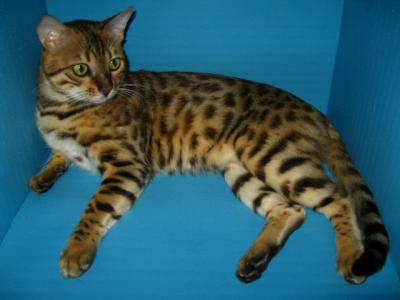 Cavali    Bengal Cat Stud