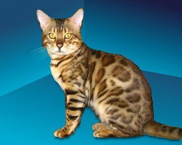 Versace   Bengal Cat Stud