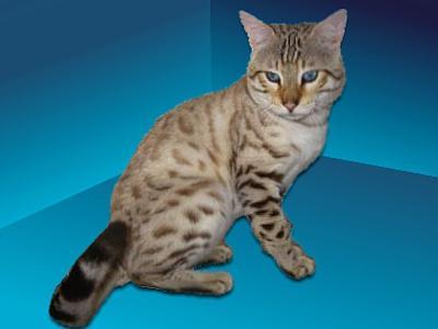 Azurre   Bengal Cat Stud